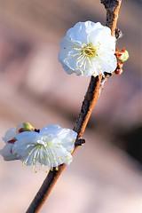 梅花 (eriko_jpn) Tags: whiteflower plumblossom prunusmume