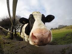 In which 503388 learns of horseradish (Apionid) Tags: heifer calf cow farmland farming werehere hereios gopro staffordshire january 2017