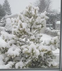 ** Par la fenêtre...** (Impatience_1 (peu...ou moins présente...)) Tags: pin pine arbre tree neige snow chutedeneige snowfall m impatience clôture fence conifère conifer saveearth supershot coth coth5 fantasticnature alittlebeauty abigfave sunrays5 100commentgroup