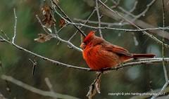 Shoulda Flown South (T i s d a l e) Tags: tisdale shouldaflownsouth cardinal bird storm winter january easternnc
