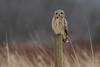 Short-eared Owl (Asio flammeus) - BC (bcbirdergirl) Tags: seow owl shortearedowl bc asioflammeus dusk magicmoment shortie birdofprey earedowls diurnal strigiformes strigidae wise declining conservation thoseeyes
