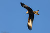 Red kite at Harewood-2 (mido2k2) Tags: mido2k2 fantastic villager explore flickr redkite red kite flight bird avian feathered raptor prey hawk falcon hunter carrion soar awesome stunning nikon d5300 sigma 150500mm west yorkshire muddy boots harewood photography nature natural wild wildlife ornithology animal outdoor eagle
