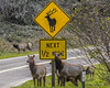 Truth in Advertising! (yamanoor) Tags: nature road female humor photography herd naturephotography roadsigns advertising animals california elk mammals ecology cervus biology redwoodnationalandstateparks redwoodnationalpark zoology us101 cervuscanadensis publiclands humorinphotography advertisinghumor