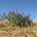 Echium plantagineum plant10 CWS