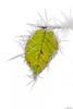 ça pique ... (jeremie.brion) Tags: feuille blanc froid nature hiver givre macro proxy