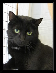 Shadow - 1 year old neutered male