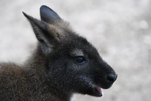macropus rufogriseus