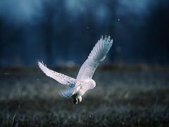 white owl (paulh192) Tags: michigan ottawacounty farm cornfield raptor owl snowyowl winter art flight nikon sigma