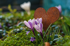 I love spring (M Lang) Tags: korkus pflanze korkusse nature switzerland rost frühling swiss flickrfriday blumenundpflanzen outdoor love heart zeiss rust blume strengelbach aargau schweiz ch