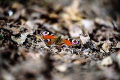 Recherche une fleur.com (olyv70) Tags: france loireatlantique boisjo sousbois bois papillon butterfly paondujour feuille leaf feuillemorte deadleaves