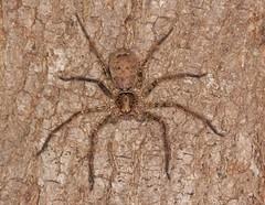 IMG_0222 (Roving_photographer) Tags: large spider meadowbank paramatta ryde sydney australia mangrove coast brown heteropoda huntsman sparassidae