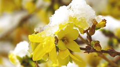 The killing of spring..... (Hayseed52) Tags: forsythia flower snow yellow winter spring seasons