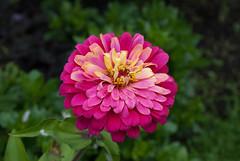 Pink flower (zinnia?) (Zake27) Tags: zinnia flower pink nature green garden nikon nikond200