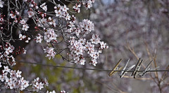 Plum & Pins (✪☺✿4 Days To Go!✿☺✪) Tags: odc zoomed pissardi plum clothespins tree backyard bokeh line spring flowers