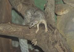 Narrow-striped mongoose (nesihonsu) Tags: africa mammal zoo african poland polska madagascar wroclaw mammalia wrocaw carnivora mangusta amniota lowersilesia decemlineata theria amniotes wroclawzoo eupleridae wrocawskiezoo mungotictis wskosmuga
