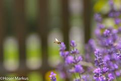 IMG_1133-5 (markus.hoser) Tags: is im usm fliege lavendel flug schwebfliege syrphus f4l fluginsekt ef24105mm canon600d