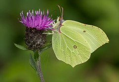 Feeding Brimstone Butterfly (steb1) Tags: butterfly insect lepidoptera 2015 pollinator brimstonebutterfly gonepteryxrhamni whixallmoss canon100mmf28lismacro