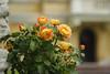 _C0A6203REW Chiswick House Roses, Jon Perry - Enlightenshade, 23-8-15 zan