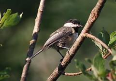 Black-capped Chickadee (jd.willson) Tags: black nature birds island bay wildlife birding maine chickadee jd capped penobscot willson blackcapped islesboro jdwillson