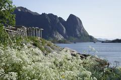 Summer in Reine (K. Haagestad) Tags: flowers sea mountains norway scenic lofoten reine nordland