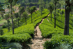 Tea Plantation (A.Stepanov) Tags: road travel plants mountains nature rock landscape nikon asia outdoor hill explore fields srilanka nikkor lk greenfields teaplant centralprovince d5200 1855mmf3556gvr mointainscape