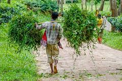 Working at the Tea Plantations (Travelling Rats) Tags: bangladesh srimongal bestofbangladesh