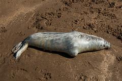 Dead seal pup on Woolacombe Sand (Neil Baldwin) Tags: croyde devon neilbaldwin public autumn cloudporn clouds cornwall holiday landscape polzeath seascape seaside httpneilbaldwinnet