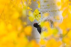 Pic noir - Dryocopus martius - Black Woodpecker (Franck Sebert) Tags: black bird nature de woodpecker noir mark wildlife iii pic 5d martius champ octobre sauvage 2015 profondeur peupliers mâle dryocopus ef2xii ef14x