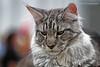 IMG_7596a_c (JANY FEDERICO GIOVANNINETTI) Tags: hairy cats cat hair eyes funny soft sweet expressions occhi international felini gatto gatti divertenti pelosi pelo dolci pedigree internazionale sguardi espressioni razza soffice soffici