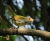common tailorbird (tareq uddin ahmed) Tags: birds canon indian common ahmed bangladesh chittagong uddin 400mm tareq 70d tailorbird