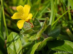 Marsh St John's-wort (Roger B.) Tags: cornwall unitedkingdom wildflower hypericum stjust stjohnswort marshstjohnswort hypericumelodes boscregan