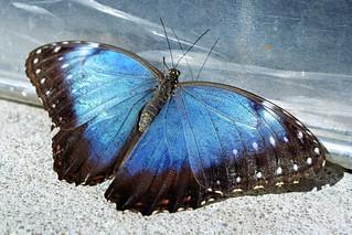 Conservatory butterfly (1)