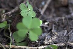 Planos entre Hierba (Jos Ramn de Lothlrien) Tags: macro flora shamrocks shamrock trebol treboles hierbas
