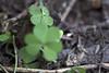 Planos entre Hierba (José Ramón de Lothlórien) Tags: macro flora shamrocks shamrock trebol treboles hierbas