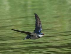 _DSC7276.jpg (Riaan4) Tags: swallow parys whitethroated whitethroatedswallow