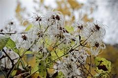 Aquenis de Clematis (Xevi V) Tags: plants fruits clematis pyrenees plantes pyrnes pirineus pallarssobir airelliure parcnaturaldelaltpirineu aquenis isiplou