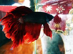 Peixe / Fish Beta (AndreSF_Fotografia) Tags: red fish indoor vermelho peixe aquario swimm