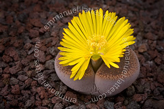 Plante caillou (Lithops aucampiae) en fleur. (Emmanuel LATTES) Tags: africa plant flower macro fleur leaves yellow stone closeup jaune plante living leaf succulent alone desert blossom african south plan lithops du southern pebble un single bloom flowering blossoming curious gravel une rsa sud gros perennial seule feuille caillou seul blooming afrique vivace curiosit gravier fleshy aizoaceae lithop succulente vgtale macrophotographie australe floraison pozzolana charnue aucampiae pouzzolane pozzolan aizoaces
