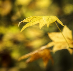 Autumn Leaves (Robert_Brown [bracketed]) Tags: lighting autumn wild orange plants abstract color green fall texture nature leaves yellow oregon photography photo leaf warm shadows natural pacific northwest native background beautful backgroud robertbrown