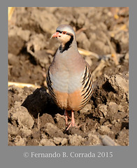 Chukar (2253) (fbc57) Tags: birds vermont addison quail partridges phasianidae chukar alectorischukar galliformes nikond800 sigma150600f563dgoshsmsport deadcreknwr