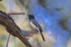 0I6A7441 Leaden Flycatcher (Male foraging near nest) (copsychus) Tags: bird birds australia breeding canberra act nesting 2015 leadenflycatcher pineislandreserve