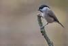 Marsh Tit (Steve Nelmes Photography) Tags: animal avian birds cameragear canon14xteleconverter canon100400ismk2 canon1dx feathered forestofdean marshtit nature perched pocketwizard stevenelmesphotography wildanimal wildbird wildlife