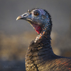 Wild Turkey - Palmyra Cove Nature Park (redforester) Tags: thanksgiving portrait turkey browneyes blueface southernnewjersey anthonycedrone