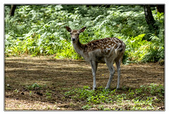 Daine ou Dine ! (Nadine.Dvx) Tags: animal dine daim cervid daine