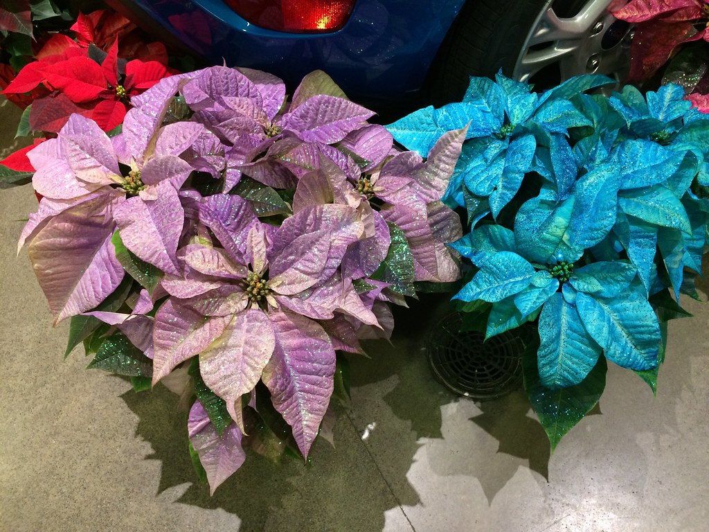 The Worlds Best Photos Of Blue And Poinsettia Flickr Hive Mind