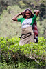 Tea Picker (Mabacam) Tags: asia southasia srilanka ceylon island hillcountry tea plantations teaplantation teapickers nuwaraeliya highlands