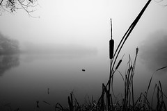Bullrush on Grey (MattCCttaM) Tags: plant bullrush tree water goldsworthpark mist fog lake weather attribute reflection