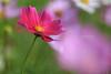 練習曲 Cosmos _MG_9326 (阿Len) Tags: 小波 波斯菊 花 flower plant 6d 70300 ef70300mmf456isusm 小小黑 桃園 八德 落羽松 霄裡里 cosmos