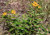 late-blooming butterflyweed (ophis) Tags: gentianales apocynaceae asclepias asclepiastuberosa butterflyweed