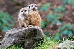 Stokstaartje - Meerkat (Den Batter) Tags: nikon d7200 overloon zooparc stokstaartje meerkat suricatasuricatta mangoest mongoose